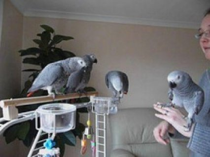 ***1yr Old Congo African Grey Parrots, Adoption***