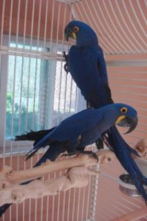 Hyacinth macaws, blue and Gold Macaws ,African Grey parrot