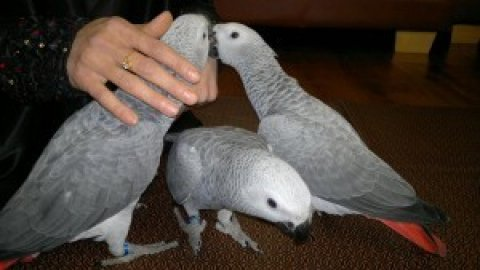 Alex African grey parrot for sale for X-MAS