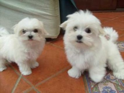صور 12 Weeks Teacup Maltese puppies 1
