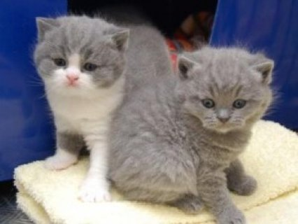 صور Male British shorthair kittens 10 weeks old 1