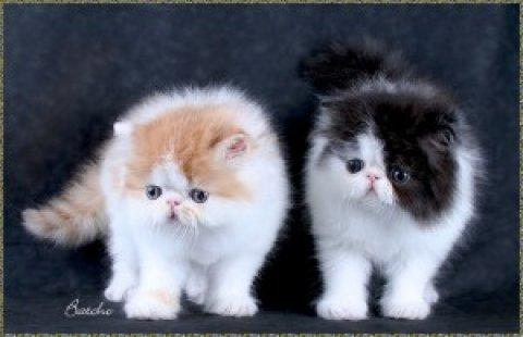 Pure breed Persian kitten - 100%