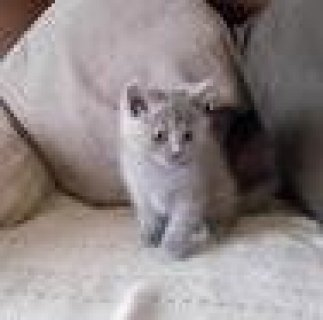 Male and Female British short hair kittens
