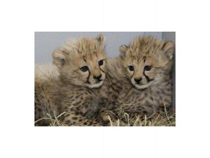 Cheetah cubs , African Serval & F1 Savannah kittens for sale