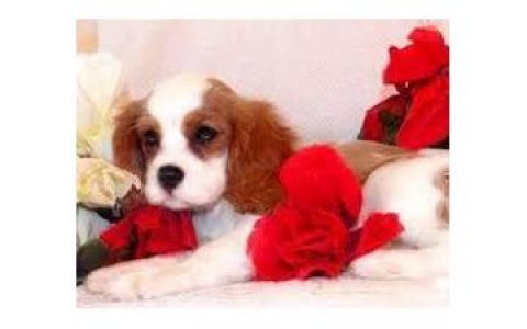 Cute Male and female Cavalier King Charles Spaniel Puppies for S