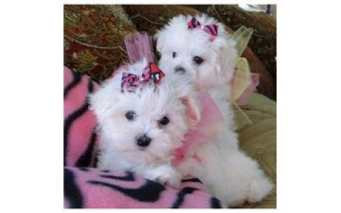 Cute Maltese Pups