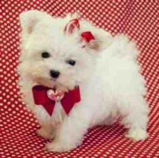 Charming and Cute Maltese puppies for sale