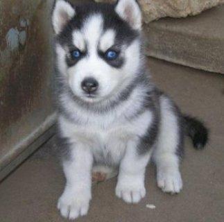Marvelous Siberian Husky Puppies