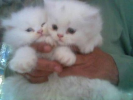 Face Persian Kittens Ready For Sale