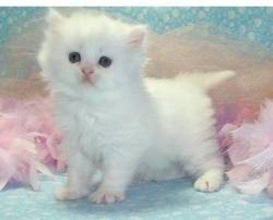 cfa persian kittens