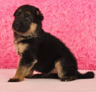 Cute Male and Female German Shepherd Dog Puppies For good home t
