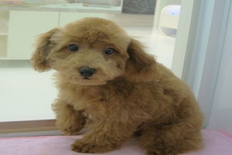 صور Poodle puppies 1