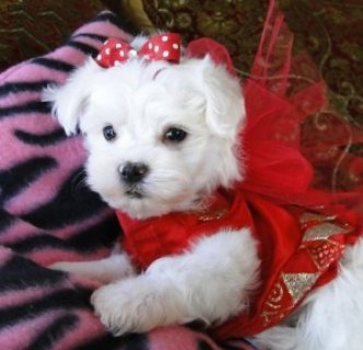 صور Teacup Maltese Puppies For Adoption 1