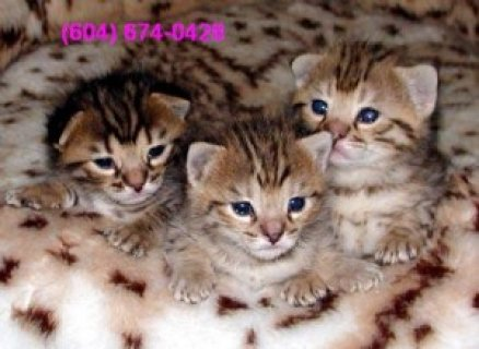 3 LOVELY BENGAL KITTENS FOR ADOPTION