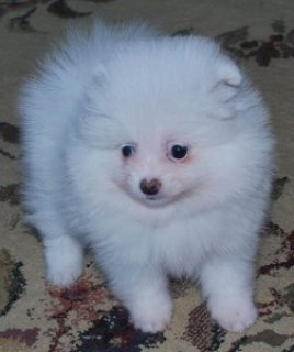 Perfect Pomeranian Puppy