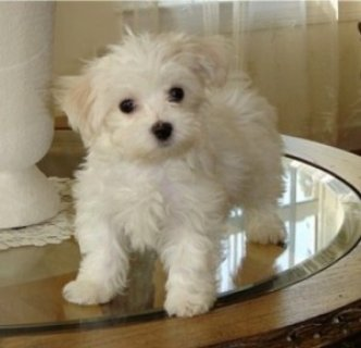 Home Trained Teacup Maltese Puppies