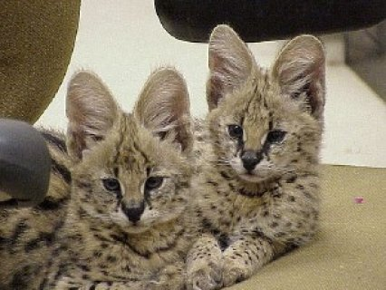 House Trained Serval Kittens