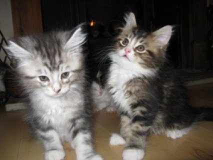 Maine Coon Cats Available
