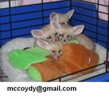 Beautiful Charming Christmas Gift Present.Male And Female fennec