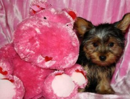 Affectionate Male And female teacup yorkie puppies for adoption