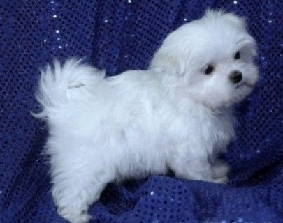 FREE Maltese Puppies for GOOD HOMES