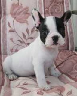 Excellent Male And Female French Bulldog Puppies