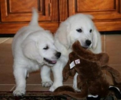 cute and lovely golden retriever puppies for adoption