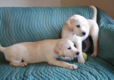 صور Labrador Retriever puppies available now for sale 1