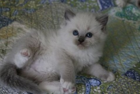 صور  White Rogdoll Kittens 1