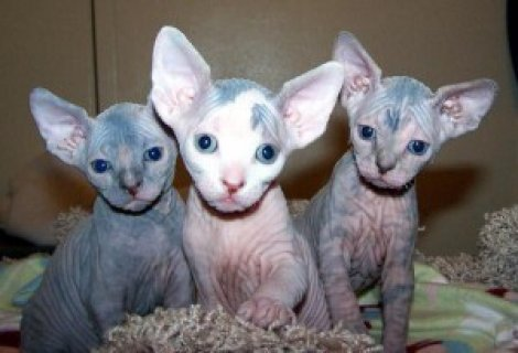 Sphynx Kittens for Adoption for sale
