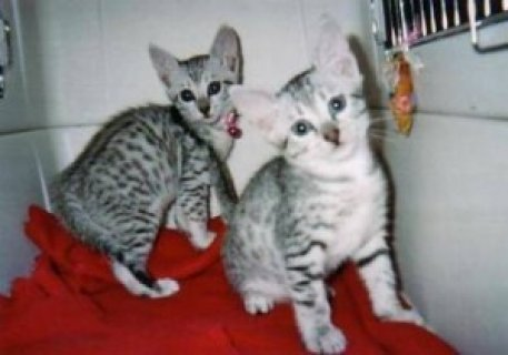 صور Lovely Egyptian mau kittens for good rehoming 1