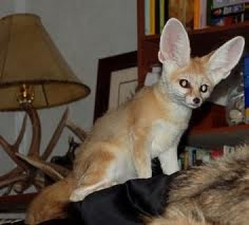 Fennec Fox Available for Sale
