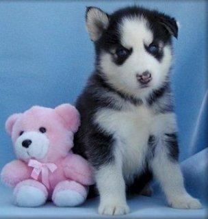 CHARMING VALENTINES GIFT A MALE AND A FEMALE SIBERIAN HUSKY PUPP