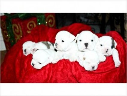 صور Adorable English bulldog puppies for adoption 1
