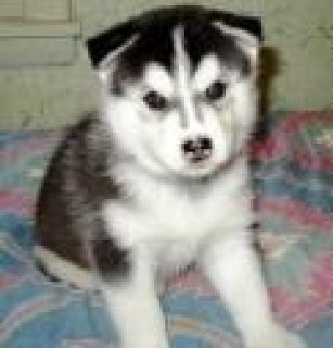 Siberian Husky Purebreed Bloodline Price Reduced Only -Two Left