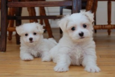 صور (Free) charming male and female lovely Maltese puppies available 1