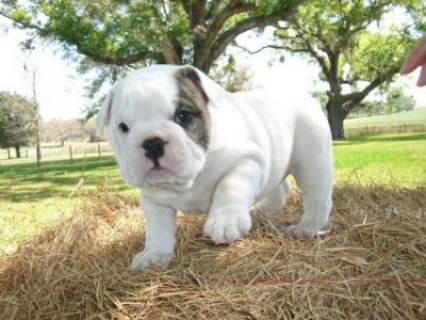Our Adorable English Bulldog Puppies Ready To Go