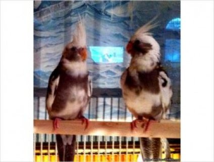Hand Fed Pied Cockatiels for Sale
