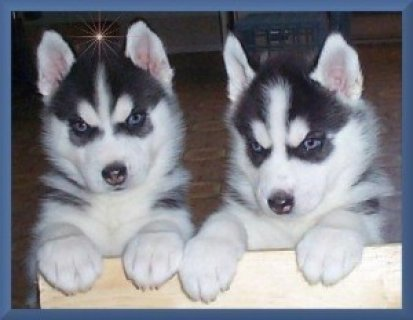 Purebred Siberian Huskies Available