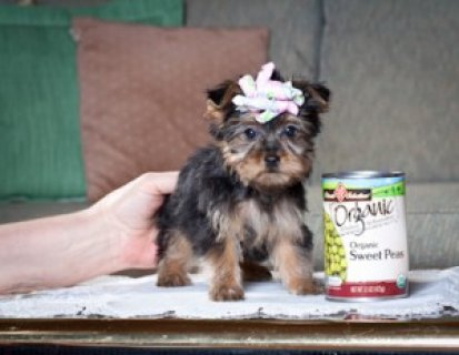 13 Weeks Old Teacup Yorkie Pups