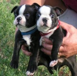 صور AKC Boston Terrier - Chocolate Brindled 1