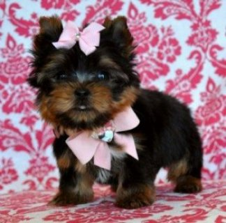 Lovely T-Cup Yorkie Puppies