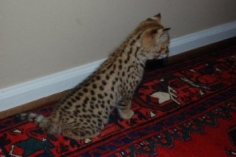 صور F2 Savannah kitten 1