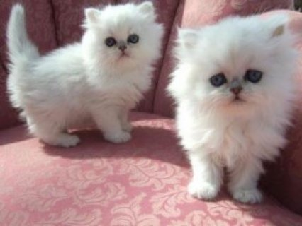 Two lovely White Persians for you.