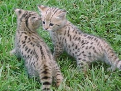savannah kittens for re-homing.