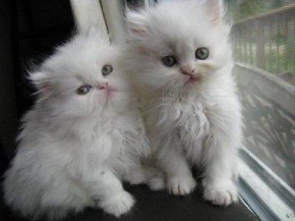 القطط الفارسية بهي للاعتماد
