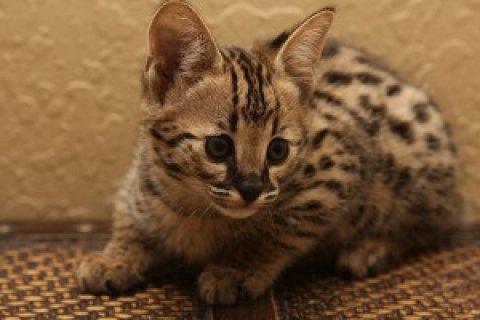 القطط السافانا للبيع - نسبة عالية