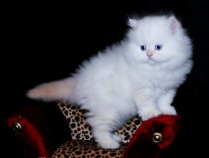 2 Teacup Persian Kittens For Sale.