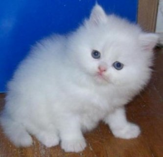 TICA Registered Persian Kittens