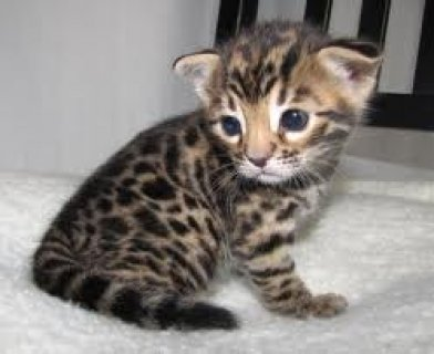 Healthy Bengal Kittens for Sale